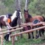 basia-konie