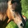 konie-huculy-1