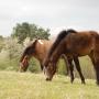 konie-huculy-8